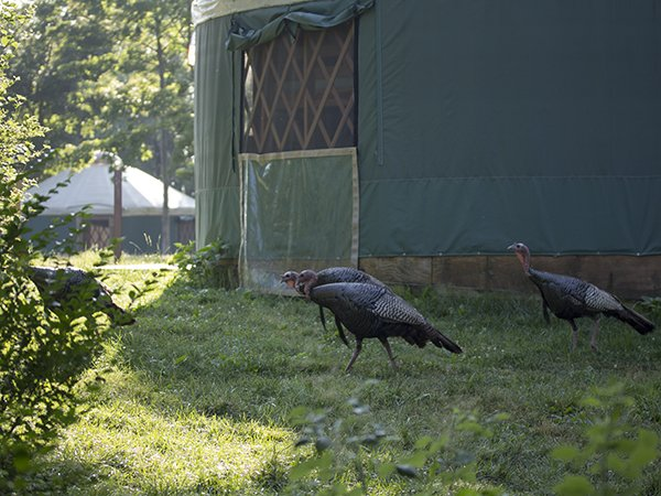 island_turkeys