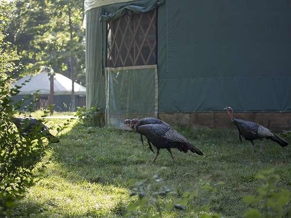 island_turkeys